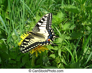 The butterfly of Papilio machaon