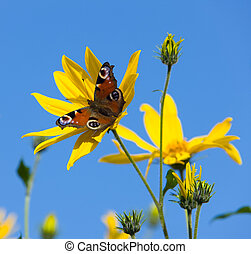 The butterfly on yellow flowers