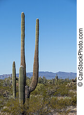 cacti of Arizona Sonoran Desert stand like a vast, silent ...