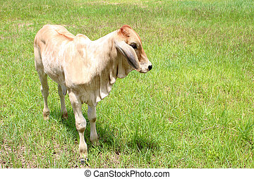 The calf is on a green lawn.