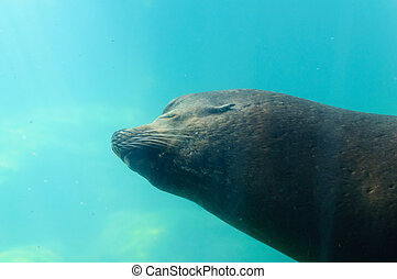 The Californian sea lion in water of California