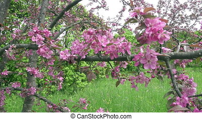 The camera moves along the apple-tree blossoming red flowers in sunny spring day
