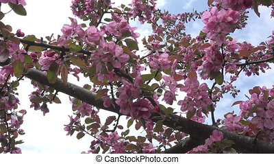 The camera moves along the apple-tree blossoming red flowers...