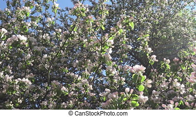 The camera moves along the apple-tree blossoming white...