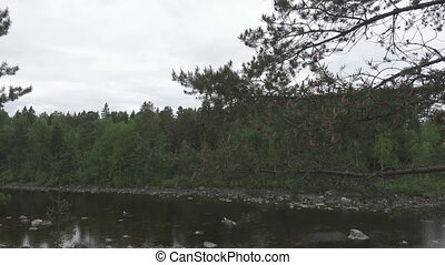 The camera moves along the pines growing on the stony river...