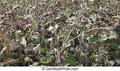The camera moves along thickets of a Arctium burdock lappa...