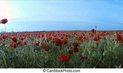 The camera moves next to the poppy field
