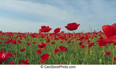 The camera moves through the field of poppy flowers. Slow motion.