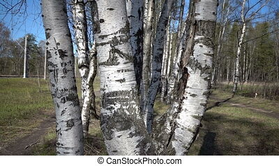The camera moves through white trunks of birches in the wood