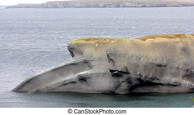 The Cape whale in the Barents sea, Novaya Zemlya archipelago, South island