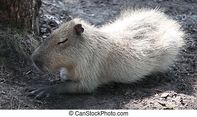 The capybara (Hydrochoerus hydrocha - Large capybara napping...