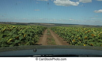 The car in a field of sunflowers