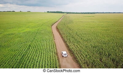 The car is going on a dirt road through a field of corn. 4k