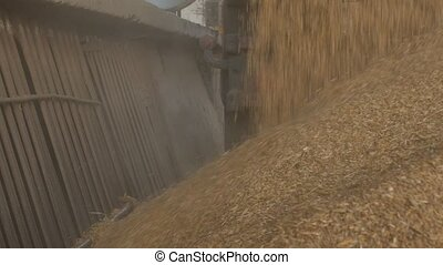 The car truck ships out corns or grains of barley into the...