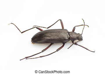 Carabidae - The Carabidae isolated white background