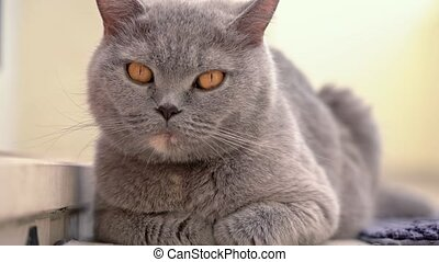 The cat, a British lop-eared breed, sits quietly resting on ...