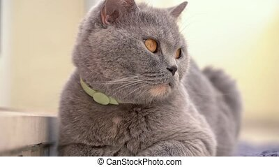 The cat, a British lop-eared breed, sits resting on the ...