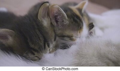 the cat feeds her kittens. kittens suck a tit breast at...