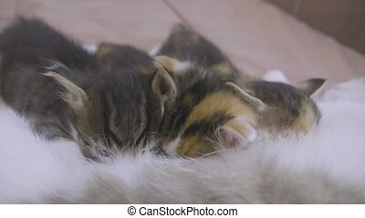 the cat feeds her kittens. kittens suck a tit breast at the...