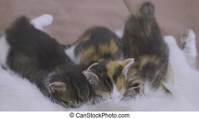 the cat feeds her kittens. kittens suck lifestyle a tit...