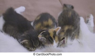 the cat feeds her kittens. lifestyle kittens suck a tit...