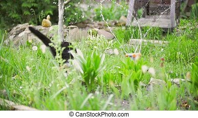 The cat is afraid of water and jumps in garden, summer day,...