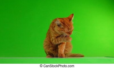 the cat is washing on the green screen