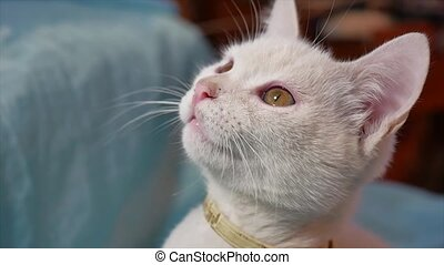 the cat is yawning white. cat kitten yawn wants to indoor...