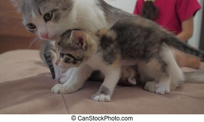 the cat licks the tongue of a small kitten slow motion...