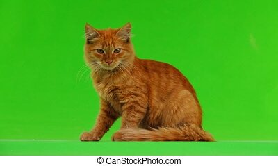 the cat looks up and down on the green screen