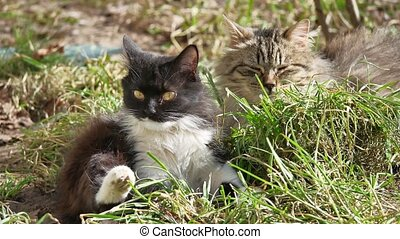 The cat pet domestic lies on the grass licks the wool is...