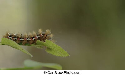 The caterpillar or moth on the edge of the leaf