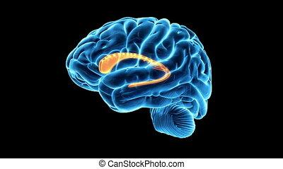 The caudate nucleus - Medical animation showing the caudate...