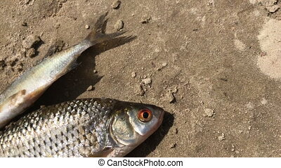 The caught river fish lies on the sandy shore and stirs the ...