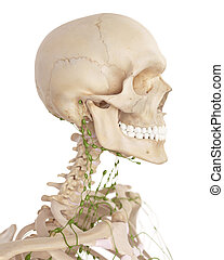 medically accurate illustration of the cervical lymph nodes