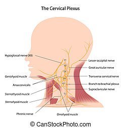 The cervical plexus, eps10