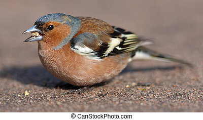 the chaffinch eats