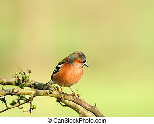 The Chaffinch - Male chaffinch sitting on the branch of a ...