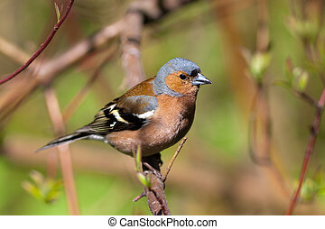 The chaffinch on a branch