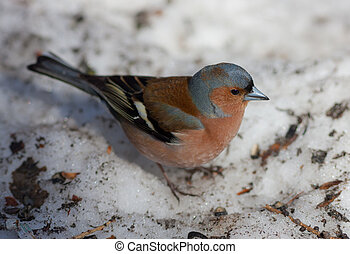 The chaffinch on snow