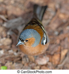 The chaffinch. The top view