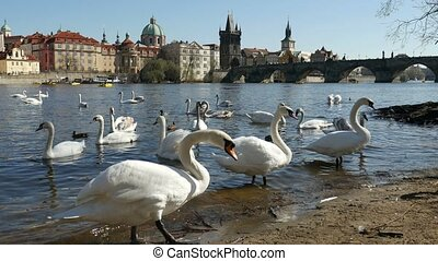 The Charles bridge and white swans swimming not far from it graciously in slo-mo
