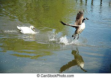 swan chasing canadian goose