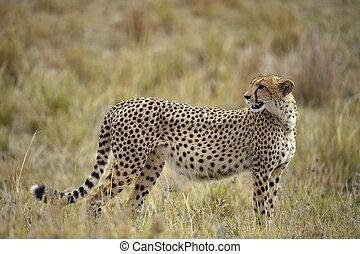 The cheetah (Acinonyx jubatus)