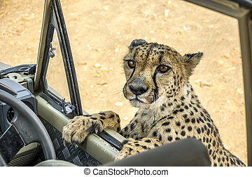 The Cheetah in Namibia