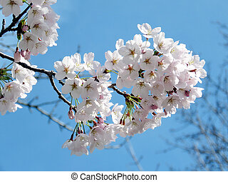 The cherry blossom flowers