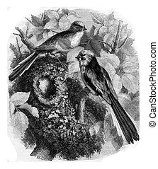 The chickadee a long tail and its nest, vintage engraving.