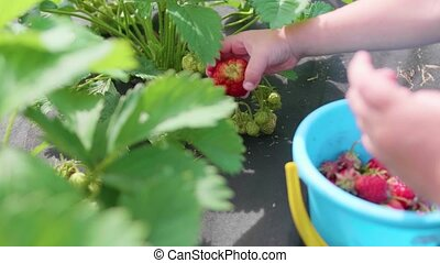 The child collects red berry Victoria. Gently breaks the berry and puts it in a child's bucket. Harvesting in the garden. Hands close-up