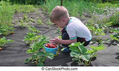 The child collects red berry Victoria. Gently breaks the berry and puts it in a child's bucket. Harvesting in the garden.