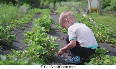 The child collects red ripe red berry . Gently breaks the berry and puts it in a child's bucket. Harvesting in the garden.